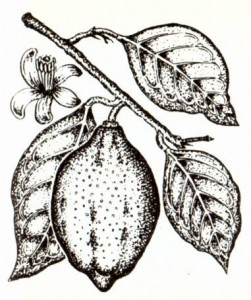 Лимон (Citrus limon Burm.)