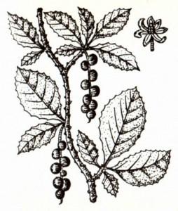 Лимонник китайский (Schizandra chinensis Baill.)