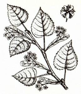 Липа сердцевидная (Tilia cor data Mill.)