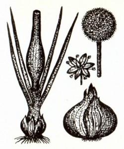 Лук репчатый (Allium сера L.)