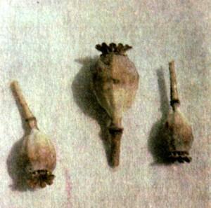Мак снотворный (Papaver somniferum L.)