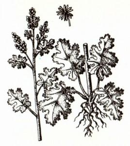 Маклеи сердцевидная и мелкоплодная (Macleaya cordata R. Br., M. microcarpa Fedde.)