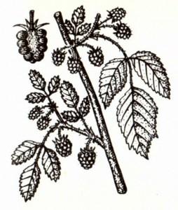 Малина обыкновенная (Rubus idaeus L.)