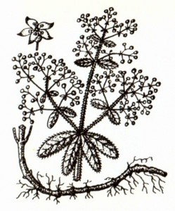 Марена красильная (Rubla tinctorum L.)