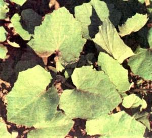 Мать-и-мачеха обыкновенная (Tussitago farfara L.)