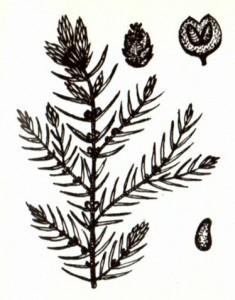 Можжевельник обыкновенный (Juniper us communis L.)