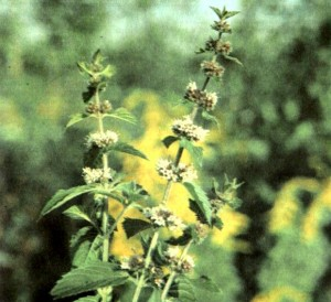 Мята перечная (Mentha piperita L.)