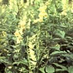 Наперстянка крупноцветковая (Digitalis grandiflora Mill.)