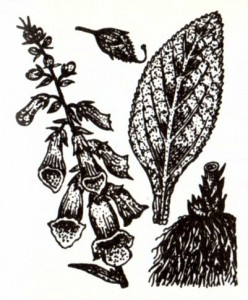 Наперстянка пурпуровая (Digitalis purpureae L.)