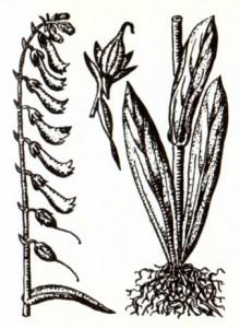 Наперстянка реснитчатая (Digitalis ciliata Trautv.)