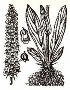 Наперстянка ржавая (Digitalis ferruginea L.)