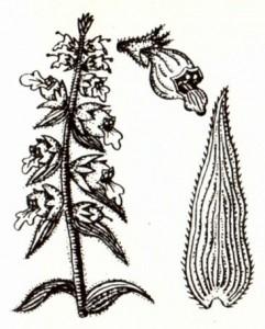 Наперстянка шерстистая (Digitalis lanata Ehrb.)