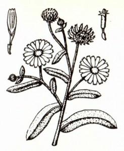 Ноготки лекарственные (Calendula officinalis L.)