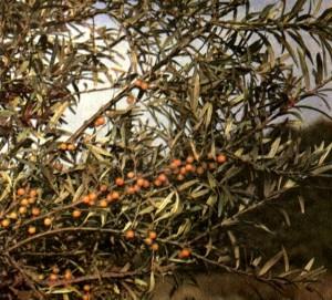 Облепиха крушиновидная (Hippophae rhamnoides L.)