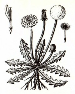 Одуванчик лекарственный (Taraxacum officinale Web.)