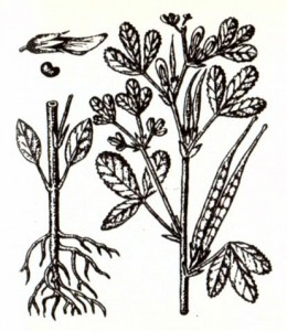 Пажитник сенной (Trigonella foenum graecum L.)