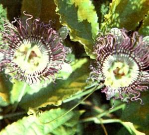 Пассифлора инкарнатная (Passiflora incarnata L.)