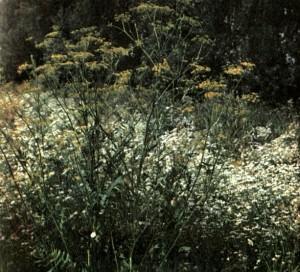 Пастернак посевной (Pastinaca sativa L.)