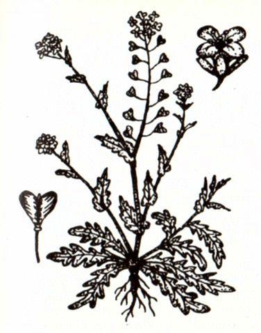 Пастушья сумка обыкновенная (Capsella bursa pastoris Medis.