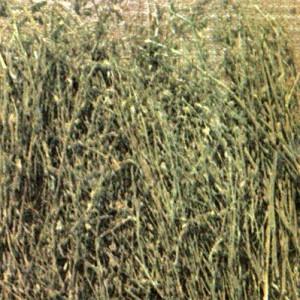 Пастушья сумка обыкновенная (Capsella bursa pastoris Medis.)