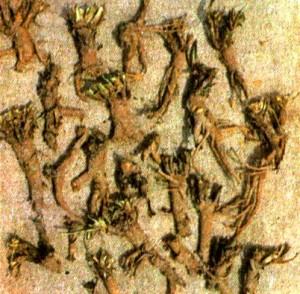 Патриния средняя (Patrinia intermedia Roem. et Schult.)