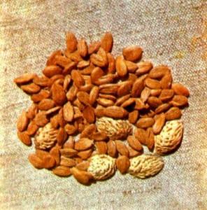 Персик обыкновенный (Регsic a vulgaris Mill.)