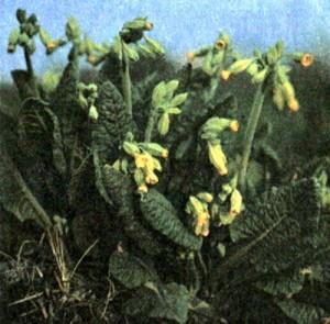 Первоцвет весенний (Primula officinalis Jacq.)