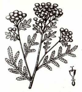 Пижма обыкновенная (Tanacetum vulgare L.)