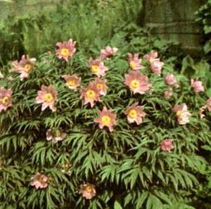 Пион уклоняющийся (Paeonia anomala L.)