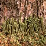 Плаун-баранец (Huperzia selago Bernh.)