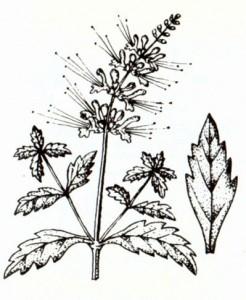 Почечный чай (Orthosiphon stamineus Benth.)