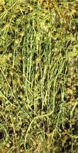 Подорожник блошный (Plantago psyllium L.)