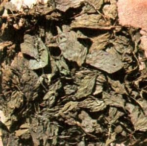 Подорожник большой (Plantago majoris L.)