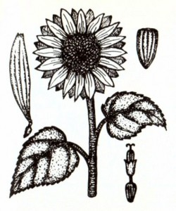 Подсолнечник однолетний (Helianthus annuus L.)