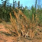 Полынь цитварная (Artemisia cina Berg.)