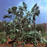 Полынь горькая (Artemisia absinthium L.)