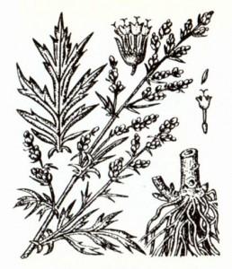 Полынь обыкновенная (Artemisia vulgaris L.)