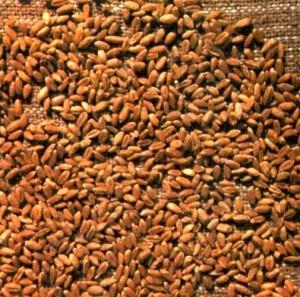 Пшеница обыкновенная (Triticum vulgare L.)