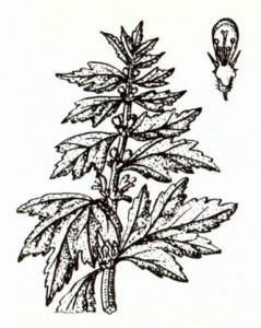 Пустырник сердечный (Leonurus cardiaca L.)