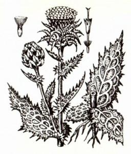 Расторопша пятнистая (Silybum marianum Gaerth.)