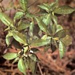 Раувольфия змеиная (Rauwolfla serpentina Benth)