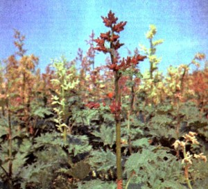 Ревень тангутский (Rheum palmatum var. tanguticum Maxim.)