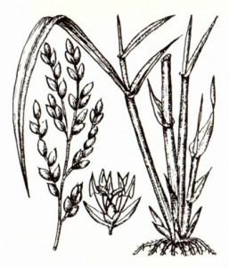 Рис посевной (Oryza sativa L.)
