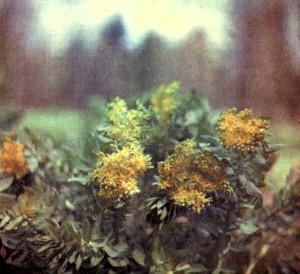 Родиола розовая (Rhodlola rosea L.)