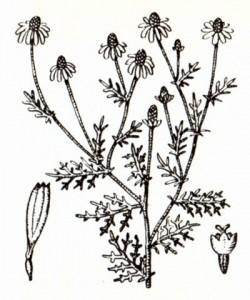 Ромашка аптечная (Matricaria recutita L.)