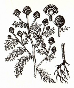 Ромашка душистая (Matricaria discoidea DC.)