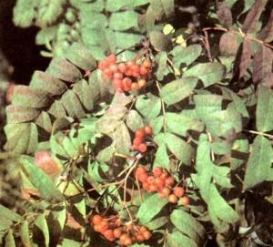 Рябина обыкновенная (Sorbus aucuparia L.)