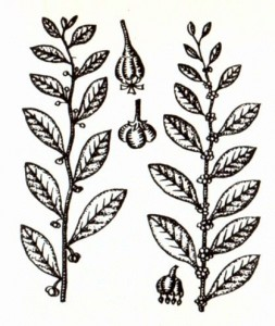 Секуринега полукустарниковая (Securiaega sufruticosa Rehd.)