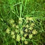 Фенхель обыкновенный (Foeniculum vulgare Mill.)