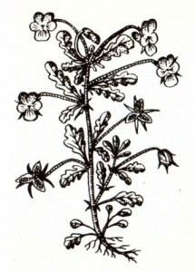 Фиалка трехцветная и полевая (Viola tricolor L., V. arvensis Murr.)